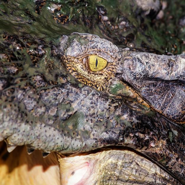 Krokodiloog Premium Foto