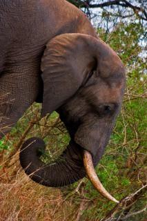 Kruger park olifant wild Gratis Foto