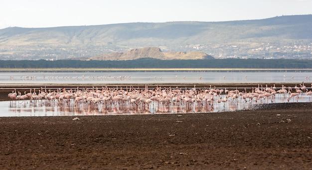 Kudde grotere roze flamingo's in kenia, afrika Gratis Foto