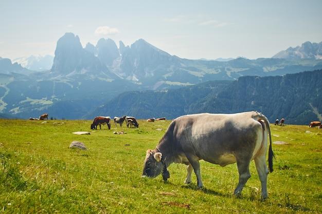 Kudde koeien eten van gras op een groene weide omgeven door hoge rotsachtige bergen Gratis Foto