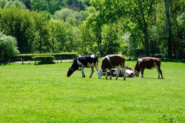Kudde koeien grazen op de wei overdag Gratis Foto