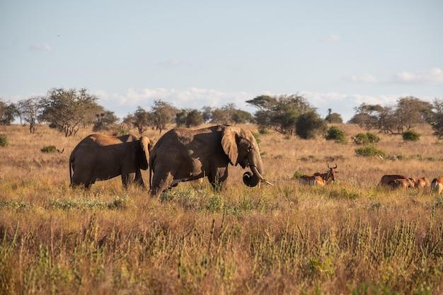 Kudde olifanten en herten op een veld in de jungle in tsavo west, taita heuvels, kenia Gratis Foto