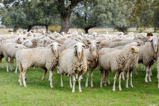 Kudde schapen grazen Premium Foto