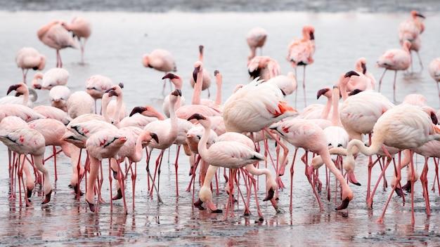Kudde van roze flamingo's in walvis bay, namibië. Gratis Foto