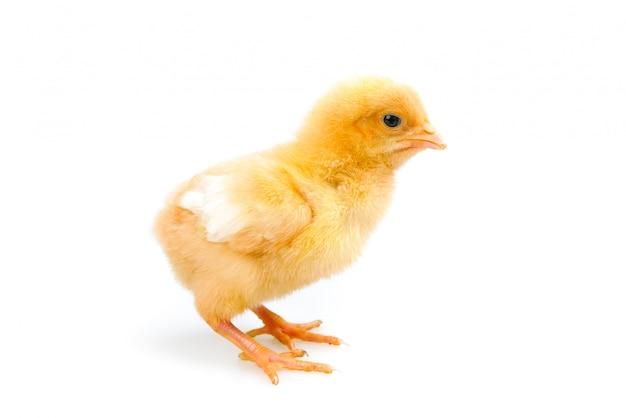 Kuiken of kleine kip geïsoleerd. boerderij en vee concept Premium Foto