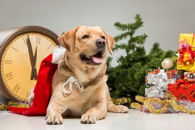 Labrador met kerstmuts en een nieuwjaarsslinger en cadeautjes. kerstdecoratie geïsoleerd op een grijze achtergrond Gratis Foto