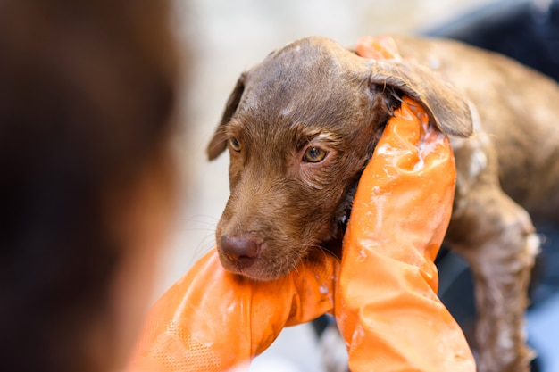 Labrador retriever puppy neemt een bad Premium Foto