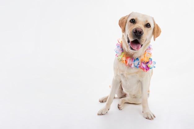 Labrador retriever Gratis Foto
