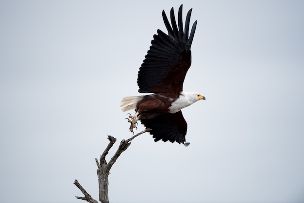 Lage hoek die van een mooie adelaar is ontsproten die in de lucht vliegt Gratis Foto
