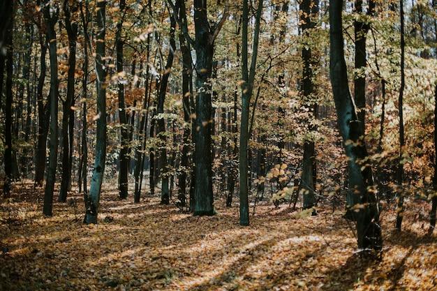 Lage hoek die van een mooie bosscène in de herfst met hoge bomen en de bladeren ter plaatse is ontsproten Gratis Foto
