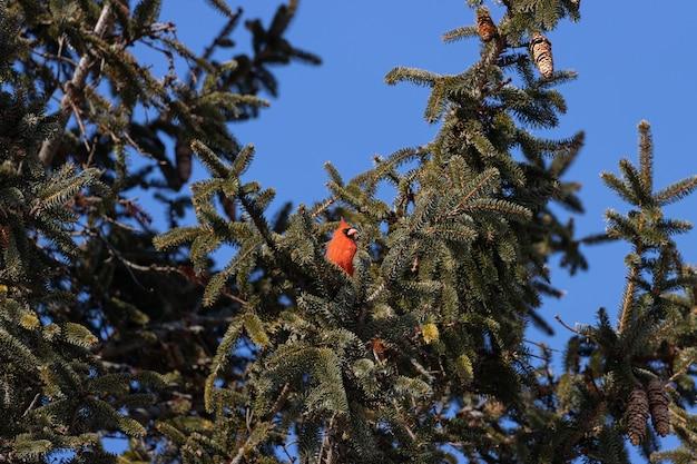 Lage hoek die van een noordelijke hoofdvogel is ontsproten die op een boomtak met een duidelijke blauwe hemel rust Gratis Foto