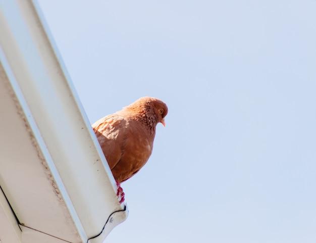 Lage hoek mooi schot van een bruine duif zat op het dak van een gebouw Gratis Foto