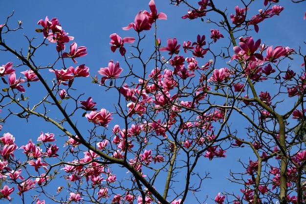 Lage hoek schot van mooie roze bloemblaadjes bloeide bloemen op een boom onder de prachtige blauwe hemel Gratis Foto