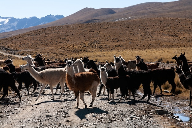 Lama in het wild in de hooglanden van bolivia - altiplano - vicuna alpaca lama Premium Foto