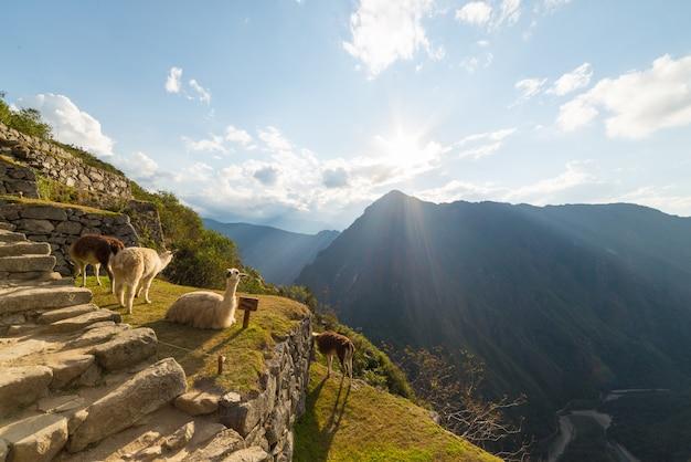 Lama's in backlight in machu picchu, peru Premium Foto