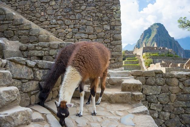 Lama's in machu picchu, peru, hoogste reisbestemming in zuid-amerika. Premium Foto