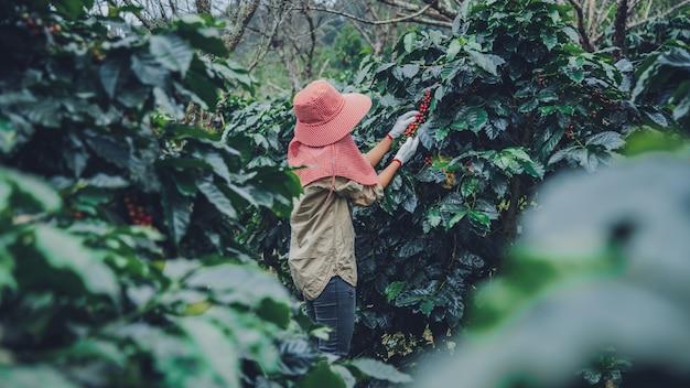 Landbouw, koffieboom koffieboom met koffiebonen, vrouwelijke werknemers oogsten rijpe rode koffiebonen. Premium Foto