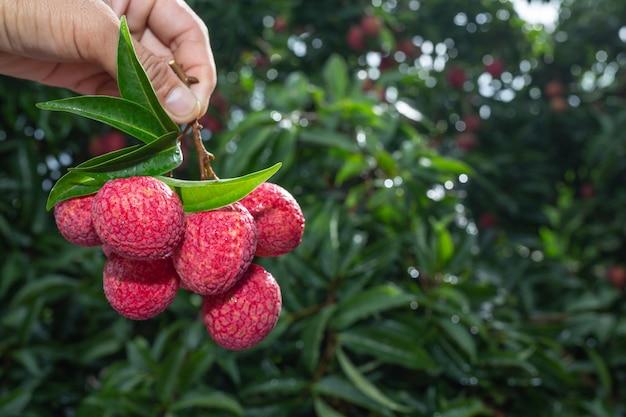 Landbouw van litchifruit in thailand Gratis Foto