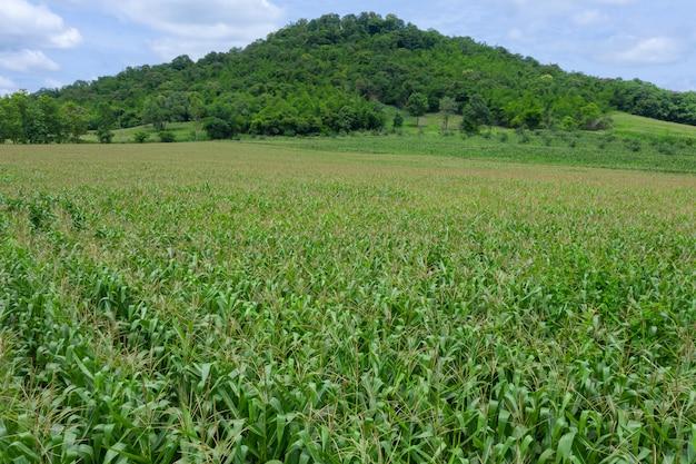 Landbouwgebied bloeiende zoete maïsvelden van boer Premium Foto