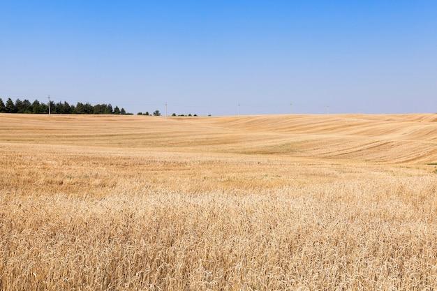 Landbouwgebied waar gewassen rijpe gele rogge geoogst Premium Foto