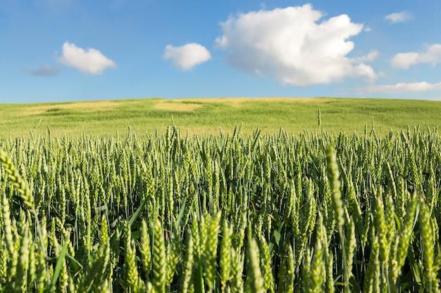 Landbouwgebied waarop onrijpe jonge granen groeien, tarwe. blauwe lucht met wolken op de achtergrond Premium Foto