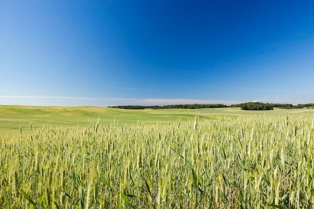 Landbouwgebied waarop onrijpe jonge granen groeien, tarwe. blauwe lucht op de achtergrond Premium Foto