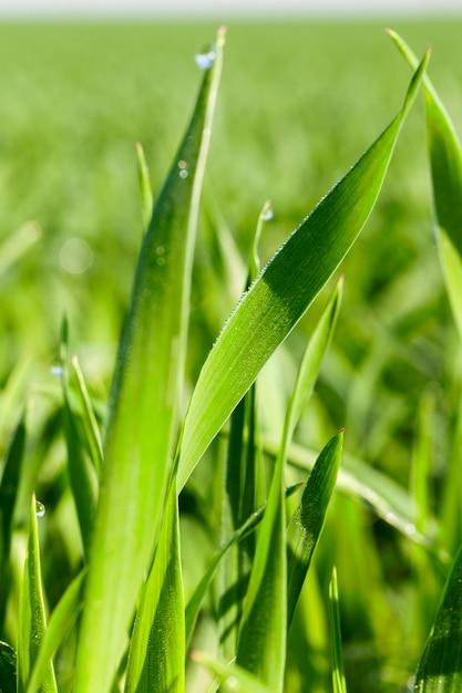 Landbouwgebied waarop onrijpe jonge granen groeien, tarwe. Premium Foto