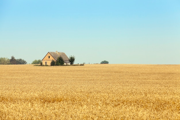 Landbouwgrond waarop het huis is gebouwd, waaromheen tarwe geel groeit. blauwe lucht op de achtergrond. foto genomen close-up Premium Foto