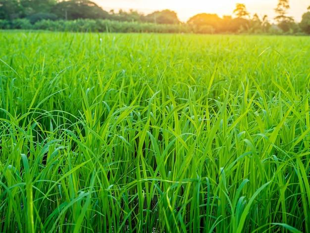 Landschap van suset met groene velden Premium Foto