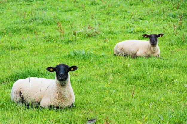 Landschappen van ierland. schapen grazen, galway county Premium Foto