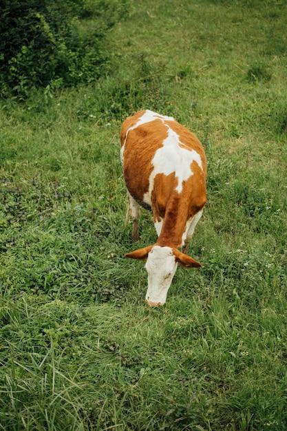 Lang geschotene koe die gras op weiland eet Gratis Foto