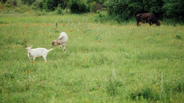 Lang geschotene landbouwhuisdieren op weiland Gratis Foto