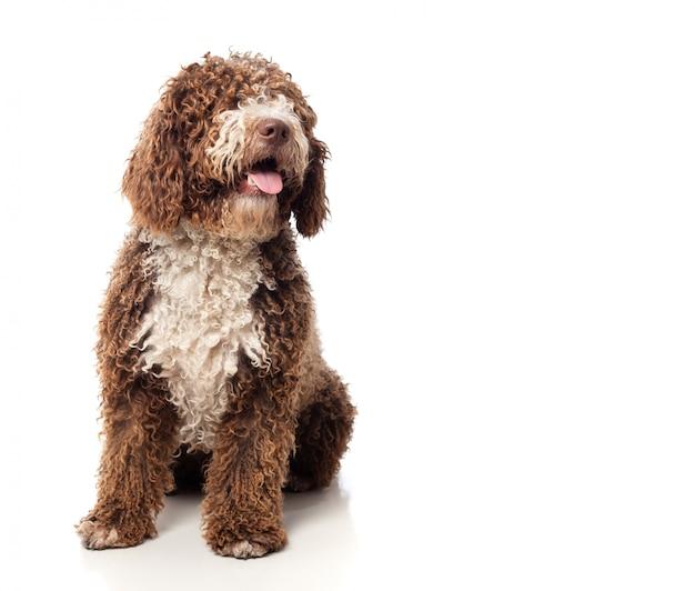 Langharige bruine hond zitten met tong uit Gratis Foto