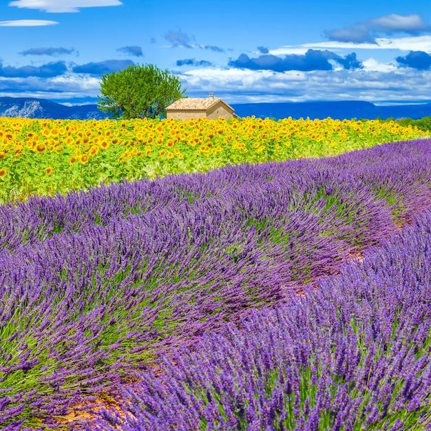 Lavendel en zonnebloem veld met boom in frankrijk Gratis Foto