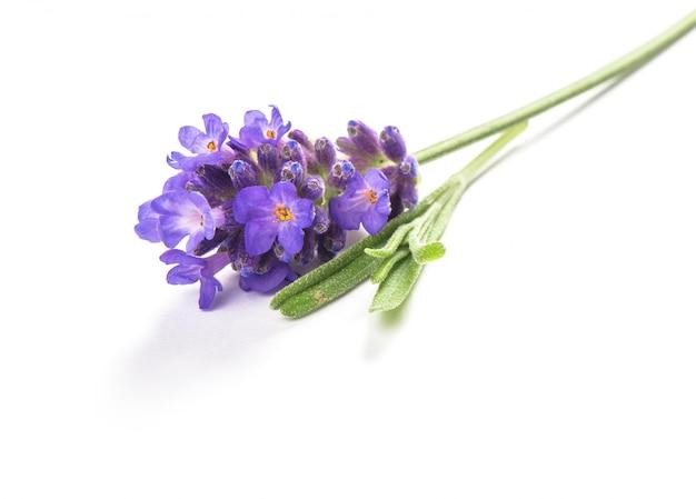 Lavendelbloem op wit macrobeeld wordt geïsoleerd dat Premium Foto