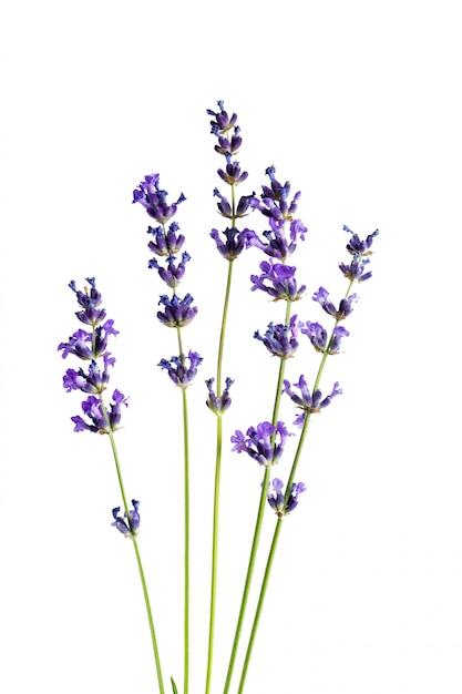 Lavendelbloemen op witte achtergrond Premium Foto