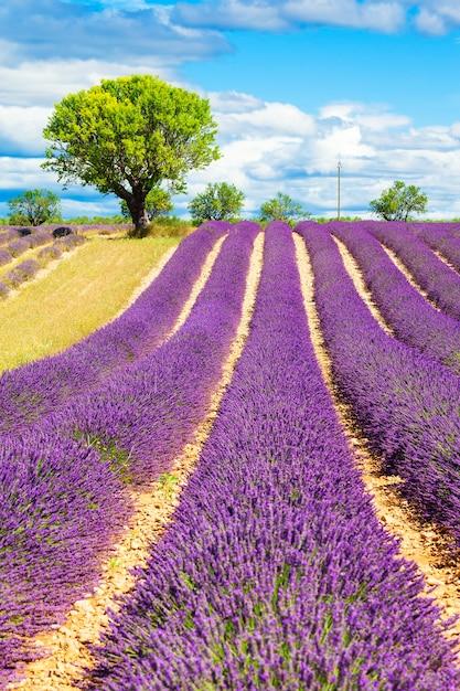 Lavendelveld met boom in de provence, frankrijk Gratis Foto