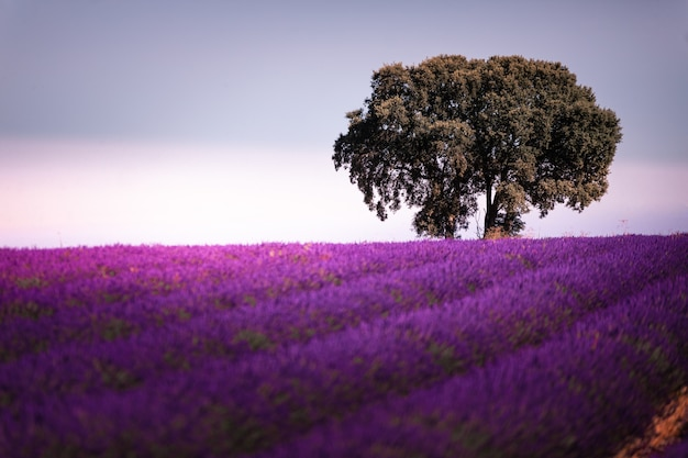 Lavendelvelden in brihuega, guadalajara, spanje. Premium Foto