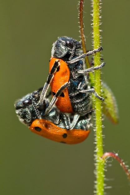 Leaf beetles (lachnaia paradoxa) paring Premium Foto