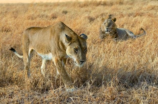 Leeuw en leeuwinpaar in savanne, afrika, het nationale park van masai mara in kenia Premium Foto