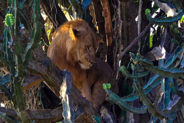 Leeuw zitten in het midden van bomen in de buurt van cactussen Gratis Foto