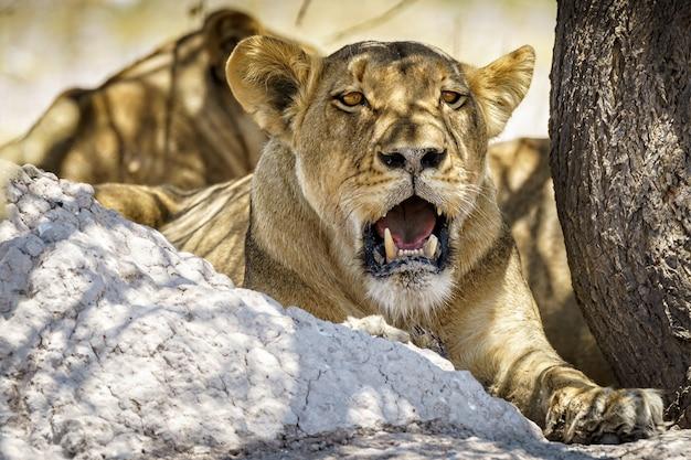 Leeuwin met gebroken tand Gratis Foto