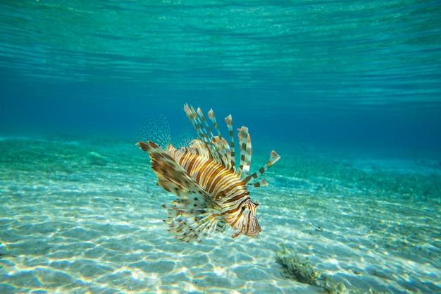 Leeuwvissen die onder water zwemmen Premium Foto
