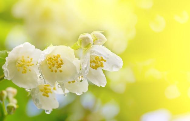Lente achtergrond een tak van jasmijn bloemen in druppels dauw in het zonlicht Premium Foto