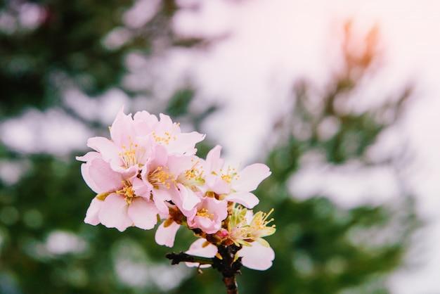 Lente amandelboom roze bloemen Premium Foto