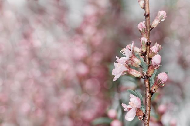 Lente bloemen. lente achtergrond. bloemen van kers in de natuur met zonnestralen. kopieer ruimte. selectieve aandacht. Premium Foto