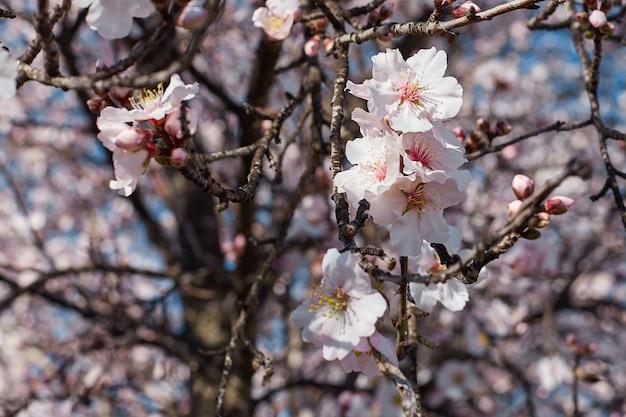 Lente bloemen. prachtige natuur scène met bloeiende amandelboom op een zonnige dag. lente bloemen. prachtige tuin in het voorjaar. Premium Foto