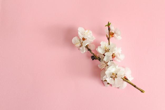Lente concept. een tak van abrikoos op een roze achtergrond. Premium Foto