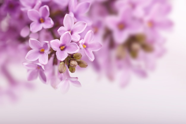 Lente lila bloemen Premium Foto