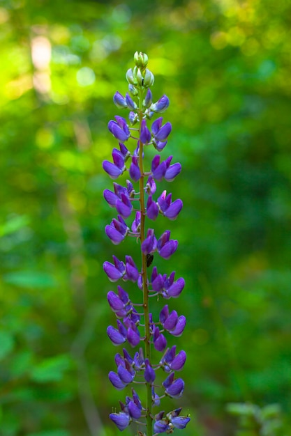 Lente veld en weide bloemen lupine paarse kleur op een achtergrond van groene vegetatie close-up. Premium Foto